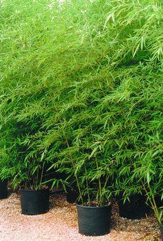 BACK, SIDE //  Phyllostachys aurosulcata, Good Companion Plant: Shibataea kumasaca, a unique dwarf bamboo with dark green leaves.