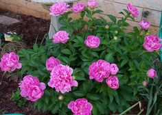 Divide peonies now. Replant in a sunny site and avoid planting deeply.