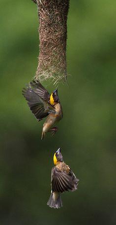 –Weaver bird(s) building a nest #Birds #Weaver_Bird