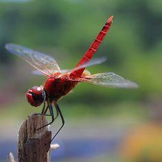 Dragonfly by AgniMax, via Flickr