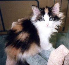 Calico Cats For Sale Australia
