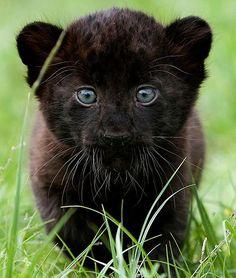 ADORABLE BLACK PANTHER CUB❤