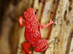 Litorida cerulela; The Exotic Strawberry Frog, recently discovered in the lower part of Southern Australia. anim, froggi, strawberries, strawberri frog, creatur, toad, natur, frogs, thing