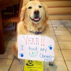golden-retriever-beats-cancer :) :) :) :) :) dog life