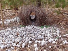 Bower Bird Nest by rupert steggles aka helgi: Bower birds are known for their unique courtship behavior. A male will build and elaborately decorate (with hundreds of sticks and colored objects he has spent hours collecting and arranging ) a  'bower' to attract a mate. Colors chosen may reflect the preferences of the females. This one is decorated with shells and greenery and is filled with glass. http://en.wikipedia.org/wiki/Bowerbird #Bower_Bird #Nest anim, shells, bower bird, ptilonorhynchida bowerbird, bird nests, bowerbird bower, bowerbird nest, birds, berries