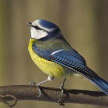 Blue tit...; Posted by: PictureGirl