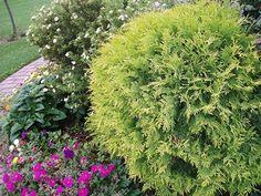 Golden Globe Arborvitae  Evergreen Shrub  2-3' t  w  Part shade to full sun,  Fast growing Zone 3-7.