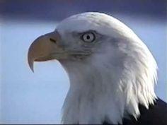Bald Eagles • Homer, Alaska