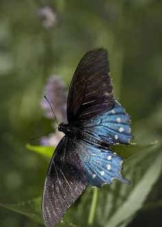 Pipevine Swallowtail by Brandon Alms