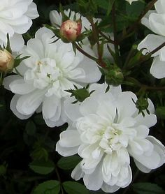 "Arctic Sunrise,A very short, dense and continual blooming, spreading ground-cover covered with many-petaled 1"" crystal white blooms offset by small, shiny, green foliage. Ideal for rock gardens. A very popular small rose.  www.heirloomroses.com"