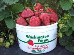 April - June is strawberry picking season at Washington Farms in Loganville & Watkinsville, GA!
