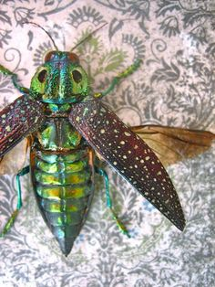 Jewel Beetles from Madagascar Framed Insect Art