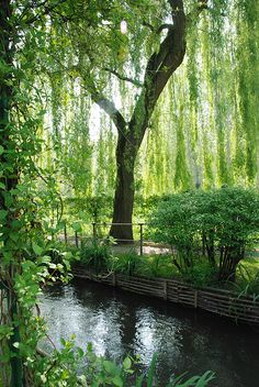 willow weeping, tree, weeping willows, pool, giverni, france, design idea, weep willow, backyards