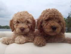 miniature goldendoodle puppies. i reallly want one.