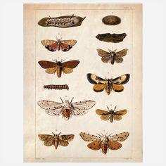 Science Moth Print vintag scienc, moth print, butterflies, vintage prints, art, poster, plate, insect, design