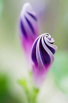 Purple Morning Glory Spirals By Maji.