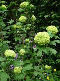Viburnum opulus, Chelsea. Gardenista