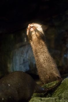 Otter, Are You Nomming Your Paws or Using Them to Clean Your Teeth?