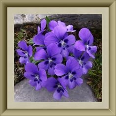 Violets (NOT African!)