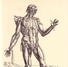 Vintage Anatomy Illustration - Human Muscles - Front Viewpage via Etsy