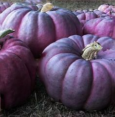 Purple pumpkins