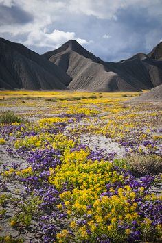 Carpets of yellow Bee Plant and purple Scorpionweed paint, Caineville, Utah  ♥ ♥ www.paintingyouwithwords.com
