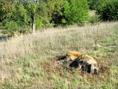 A decomposing hog lies in a grazing pasture in rural Trivoli outside cornfields farmed by Greg Johnson. He says neighbor Randy Knussman won't keep his pigs from eating Johnson's corn, so Johnson has shot as many as 30 of the trespassing animals.