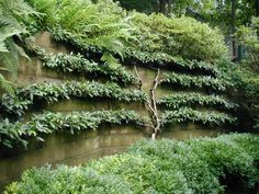 espalliered cotoneaster