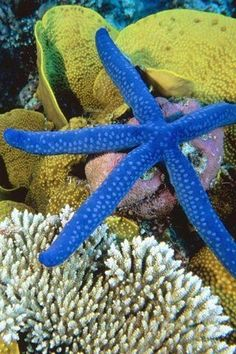 BLUE star fish