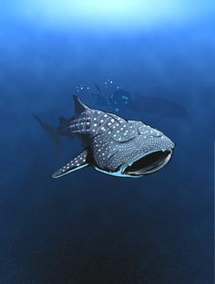 The whale shark has distinctive light-yellow markings (random stripes and dots) on its very thick dark gray skin. Its skin is up to 4 inches (10 cm) thick. There are three prominent ridges running along each side of the shark's body