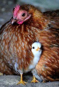 Mama hen and her chick ~ Javimage