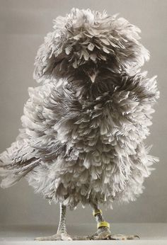 Polish Frizzle Bantam Hen. I think this is the Kim Kardashian of chickens.