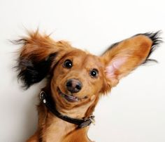 Doxie grin!