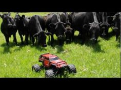 Cows chasing remote controlled car