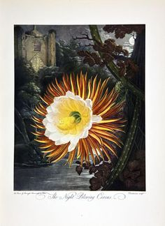 Night blooming cereus.   http://www.studiobotanika.com