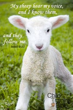 "My Sheep. - John 10:27, ""My sheep hear my voice, and I know them, and they follow me:"""