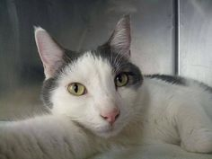 NYC TO BE DESTROYED Tuesday, Oct.21'14 TOM. ID #A1016701. Neutered male white & gray about 2 YEARS  OWNER SUR reason stated was ALLERGIES.Tom allows the stroke, head-butts the assessor's hand and appreciates petting on the head and body. but Needs Experienced Home  https://www.facebook.com/nycurgentcats/photos/a.881615721856416.1073742476.220724831278845/881615971856391/?type=3&theater