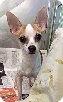 Chihuahua, Manny.