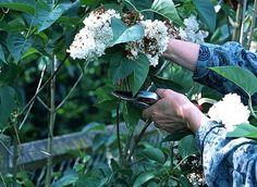 Tailler et nettoyer 25 arbustes de printemps