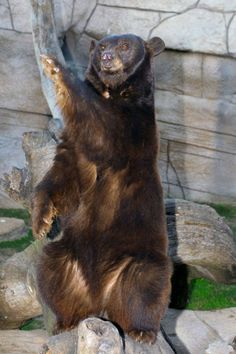 "One of Baylor's bears doing a ""sic 'em!"""