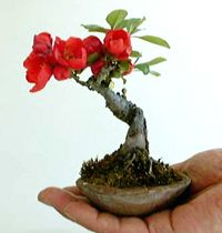 flowering quince bonsai