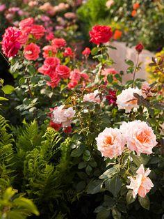 plant, fern, pink flowers, garden ideas, flower garden