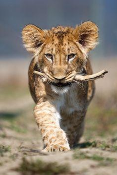 Fufik with a stick (panthera leo) by Ales Gola