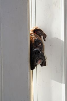 """""""May I come in there with you?  I already miss you, even though you just walked in there two minutes ago.""""  (boxer)"""
