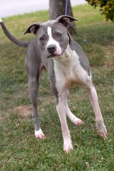 eu date 09/26/14 ~Allie~ Breed:Pit Bull Terrier (short coat) Age: Adult Gender: Female Shelter Information: Johnson City/Washington Co. Animal Shelter 525 Sells Ave  Johnson City, TN Shelter dog ID: Allie Contacts: Phone: 423-773-8510 Name: Hannah Greene email: jcanimalshelter@embarqmail.com About Allie: