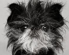affenpinscher-translation: monkey terrier...see photo :-) Intelligent, mischieveous, wire haired little guy acts like a big dog.Good for apartment life with lots of play time.