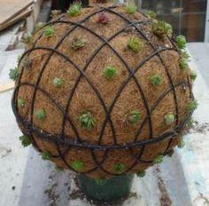Succulent Ball