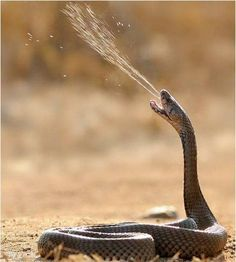 One of those shots you rarely get to see. A poisonous snake spits out some venom!