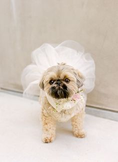 Here comes the…pup! Dress up your favourite companion animal on your wedding day.