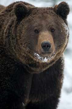 anim, brown bearin, bears, beauti bear, bigbear, snow, big bear, bruin, bobbi beauti